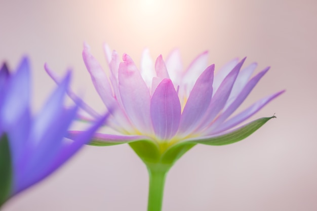 The appearance of a purple lotus flower is a beautiful Premium Photo