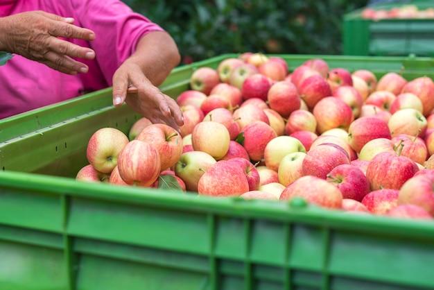 果樹園でのリンゴ果実の収穫 無料写真