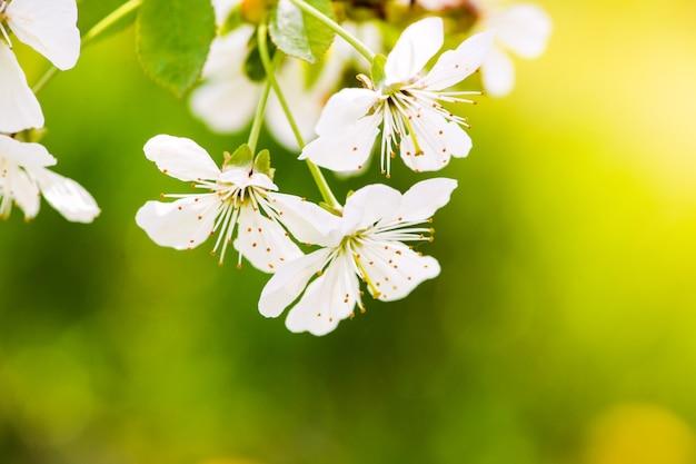 アップルガーデン、木に咲く。春の開花果樹園 Premium写真