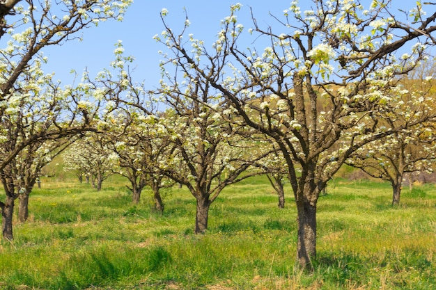 Apple garden with blossoming trees Premium Photo