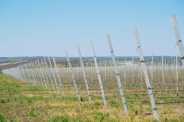 Apple orchard garden in springtime with rows of trees with blossom. Premium Photo