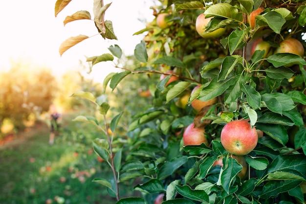 사과 과수원 무료 사진