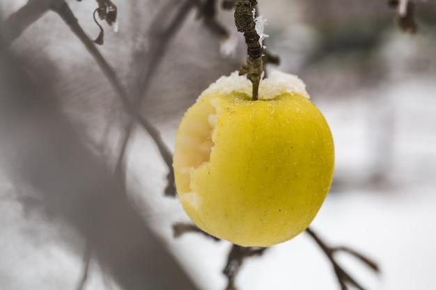 사과는 겨울의 시작 인 눈 속의 나뭇 가지에 무게를 S니다. 무료 사진
