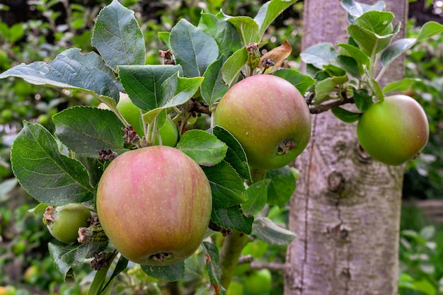 Apples on tree in the garden Premium Photo
