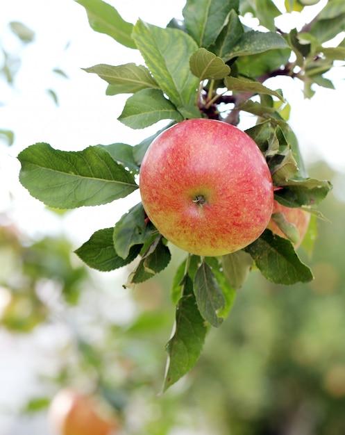 Apples on a treee Free Photo