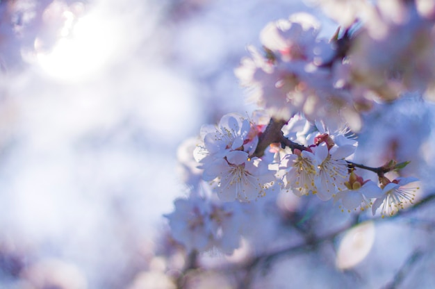 Apricot Blossom Heart Shape Blur Bokeh Photo Premium Download
