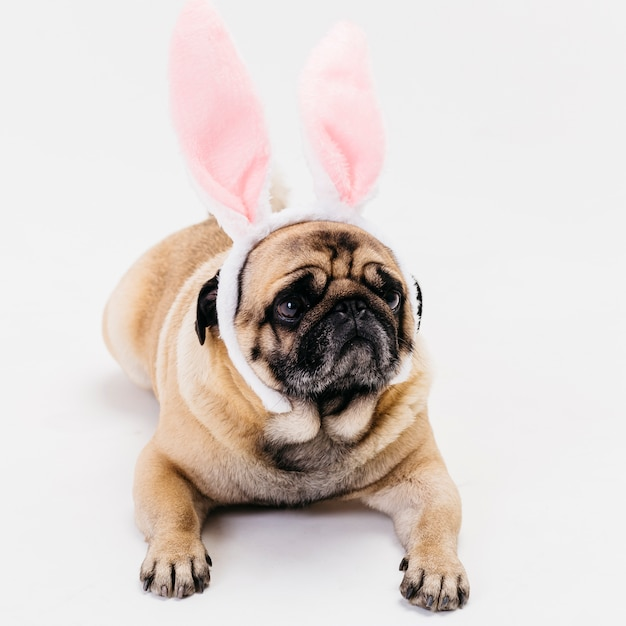 Apricot fawn cute compact pug in bunny ears Free Photo