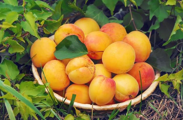 Apricots on a white background. Premium Photo