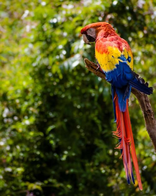 Ara macaw Premium Photo