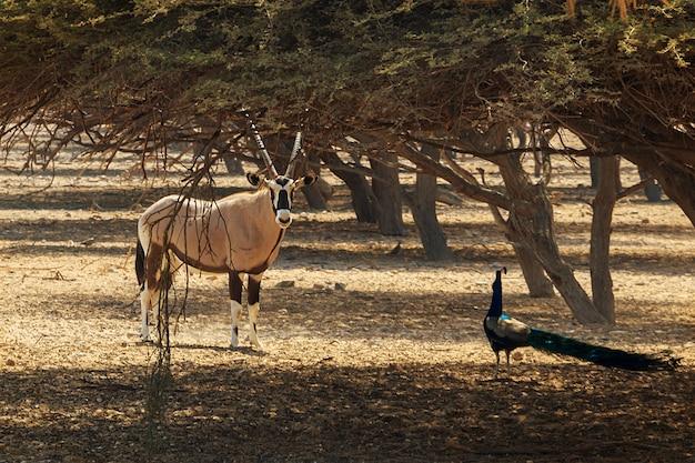 Arabian oryx or white oryx (oryx leucoryx) and peacock in reserve Premium Photo