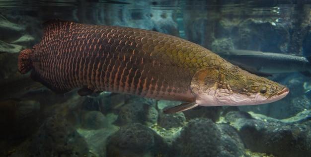 アラパイマ魚-pirarucu arapaima gigasブラジル最大の淡水魚と川の湖-ヘビの頭の魚 Premium写真