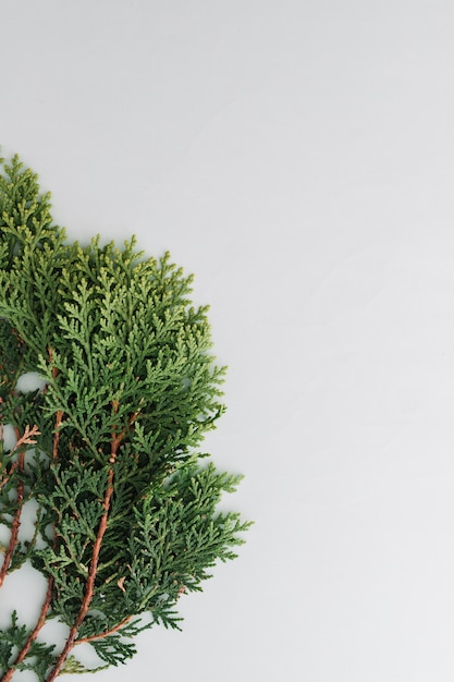 Arborvitae leaves on a white background Free Photo