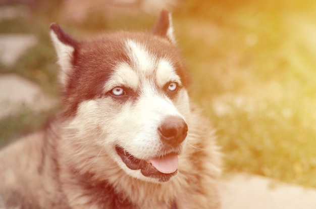 Arctic malamute with blue eyes muzzle portrait close up. this is a fairly large dog native type Premium Photo