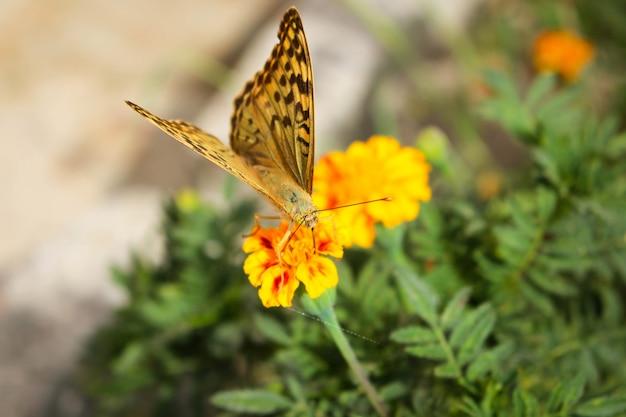 Бабочка аргиннис пафии на цветке Premium Фотографии