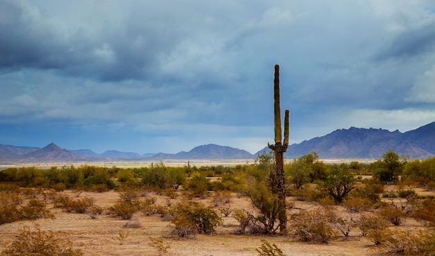 Arizona desert panorama landscape in saguaro cactus Premium Photo