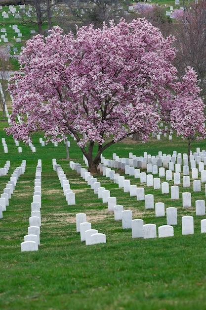 Arlington national cemetery with beautiful cherry blossom and gravestones, washington dc, usa Premium Photo
