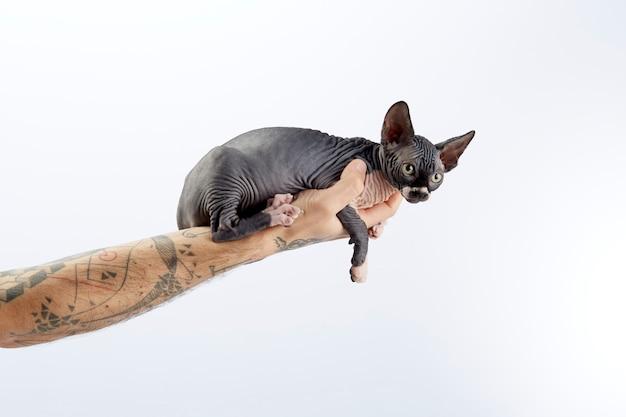 Arm tattooed holding a baby sphinx cat Premium Photo