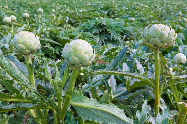 Artichokes field in murcia ameria region spain Premium Photo