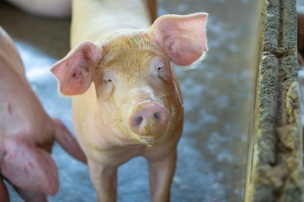 家畜の地元のasean養豚場で健康的に見える豚のグループ。 Premium写真