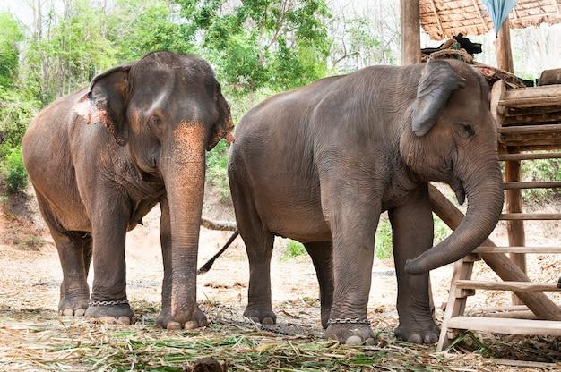 태국의 아시아 코끼리 프리미엄 사진