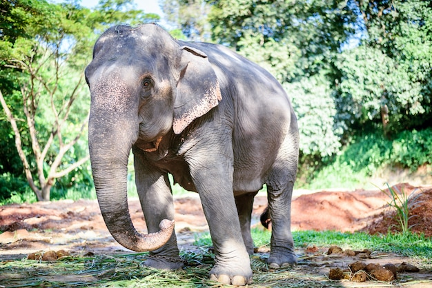 Asian elephant in nature park, chiang mai, thailand Premium Photo