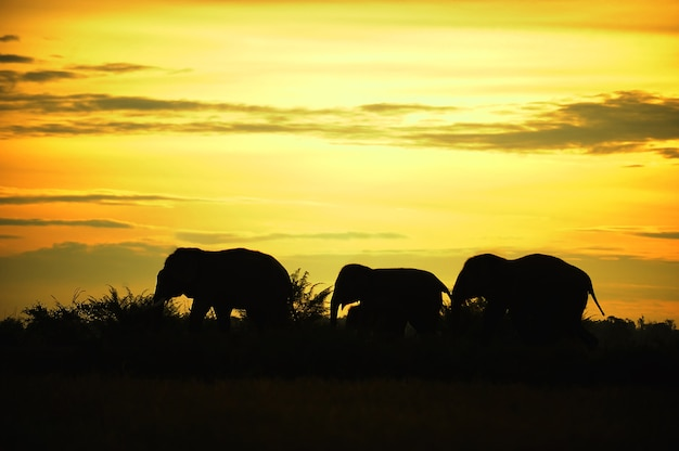 Asian elephant silhouette walk the line in thailand Premium Photo