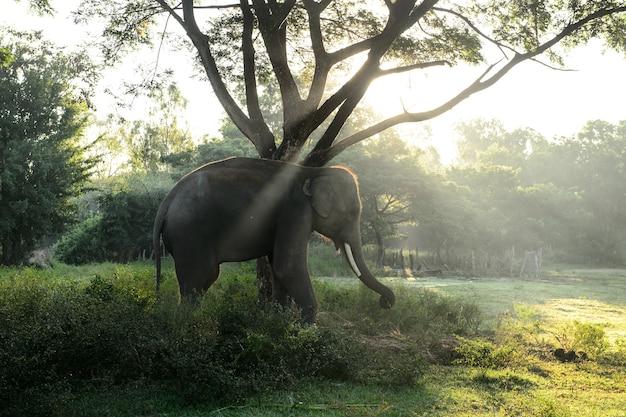 Asian elephant with sunbeam in beautiful location, thailand Premium Photo