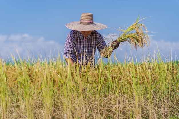 Asian farmer working in the rice field under blue sky Premium Photo