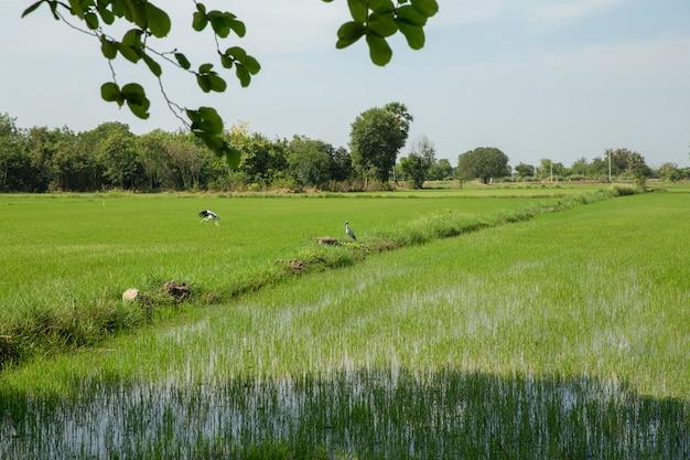 Asian open-billed, thailand bird Premium Photo