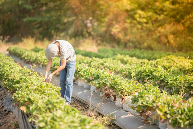 Asian sibling boys harvesting strawberry organic in the farm Premium Photo