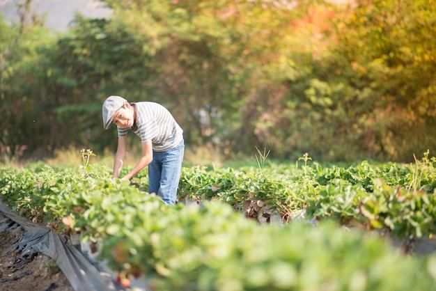 Asian sibling boys harvesting strawberry organic in the farm Premium Photo