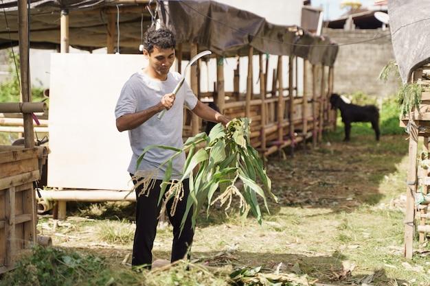 Азиатский традиционный фермер готовит еду для своего домашнего животного. время кормления коз и коров Premium Фотографии