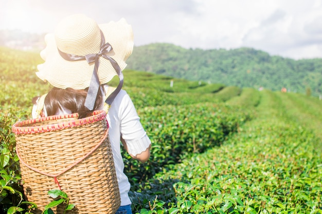 Asian traveler woman holding basket to  in green tea farm in the morning Premium Photo