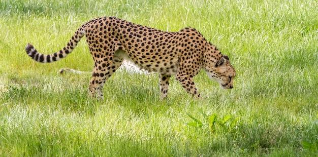 An asiatic cheetah Premium Photo