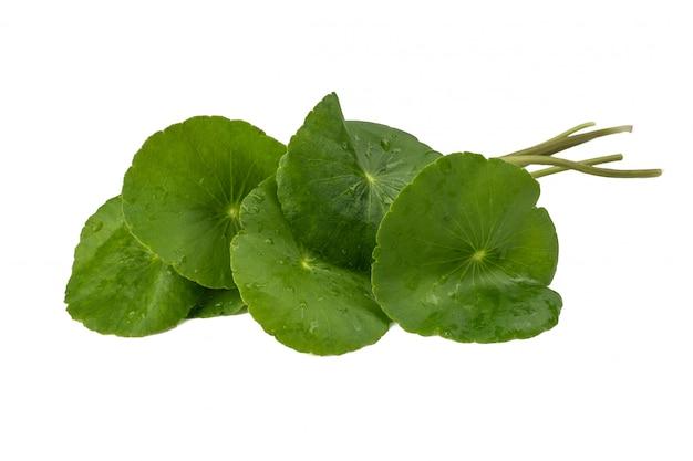 Asiatic leaf herb gotu kola, indian pennywort, centella asiatica, tropical herb Premium Photo