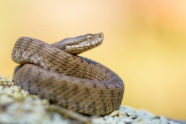 Asp viper, vipera aspis in nature. Premium Photo