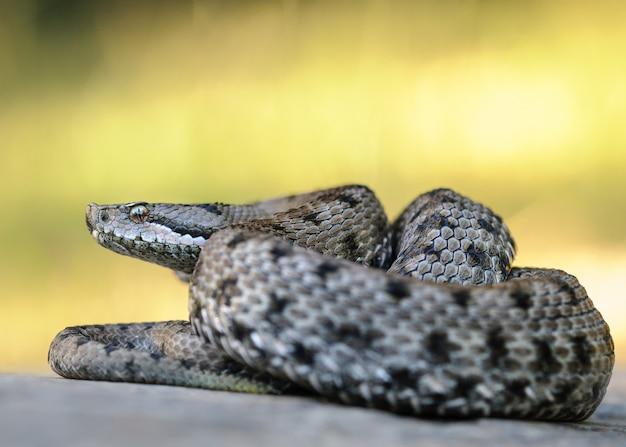 Asp viper, vipera aspis Premium Photo