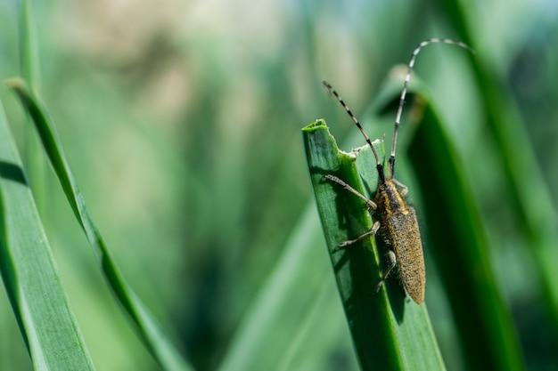 Asphodel long horned жук, агапантия asphodeli, опираясь на лист. Бесплатные Фотографии