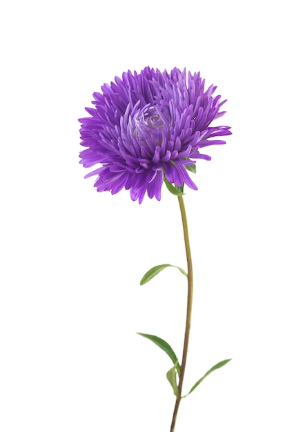 Aster isolated on white background Premium Photo