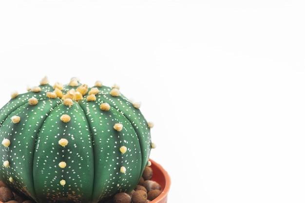 Astrophytum asteriasサボテンや星のサボテンは白い背景に分離します。 Premium写真