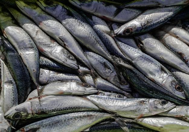 Atlantic mackerel, recently captured Premium Photo