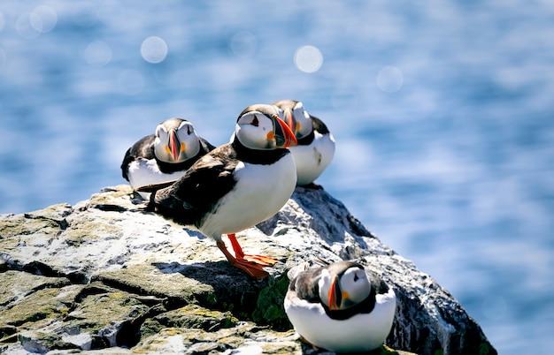 대서양 Puffins는 뜨거운 햇빛 아래 큰 돌에서 휴식을 취하고 있습니다. Farne Islands, 노섬 버 랜드 잉글랜드, 북해. 영국 프리미엄 사진