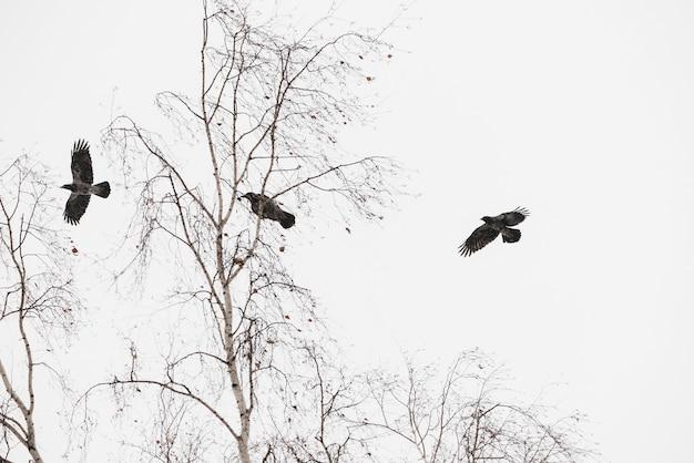 Атмосферный зимний пейзаж с тремя черными воронами, летящими над деревьями Premium Фотографии