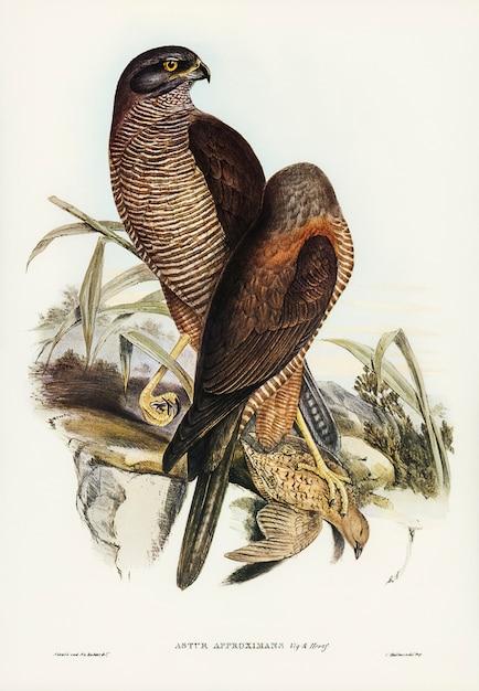 Australian goshawk (astur approximans) illustrated by elizabeth gould Free Photo