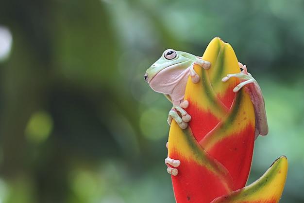 Australian green tree frog on banana flower Premium Photo