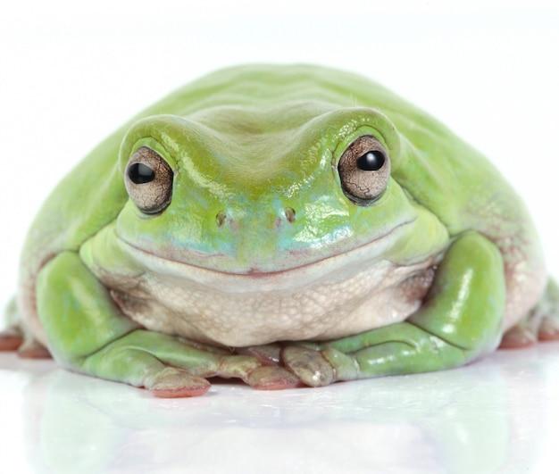 Australian green tree frog Free Photo