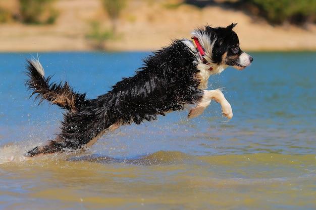 Australian shepherd diving Premium Photo
