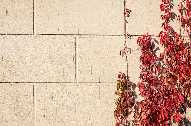Осенний фон красных листьев вьющегося дикого винограда на фоне каменной стены Premium Фотографии