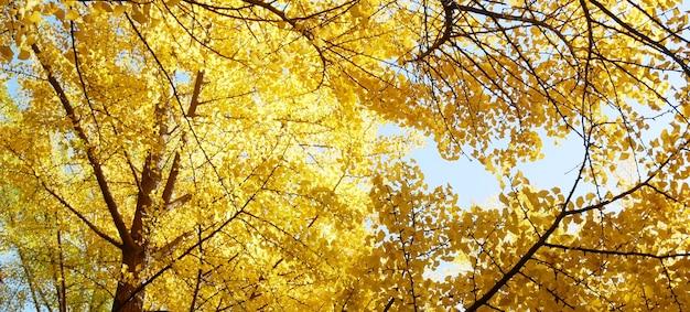 노란 은행 나무 Biloba 잎 이을 배경. 프리미엄 사진