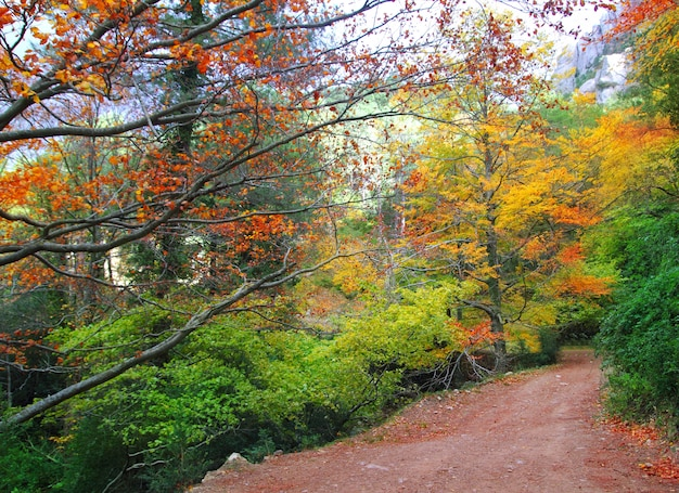 Autumn fall beech forest track yellow golden leaves Premium Photo
